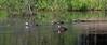 Pacific Black Ducks, Warracknabeal, Victoria<br /> December 2010