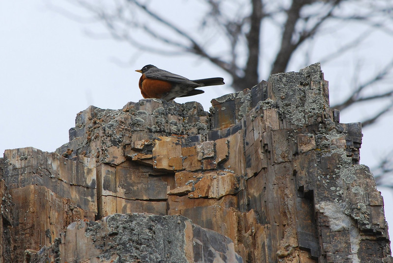 American Robin perching on top of a petrified tree.<br /> Yellowstone National Park