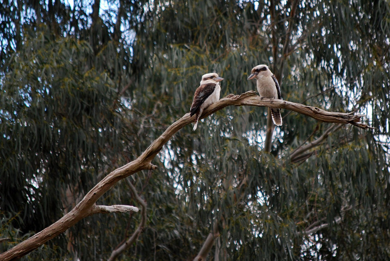Pair of Kookaburras, Dandenong Creek Bike Path