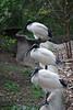 Australian White Ibis, Healesville Sanctuary, Vic