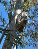 Tawny Frogmouths<br /> Murtoa, Victoria, December 2010
