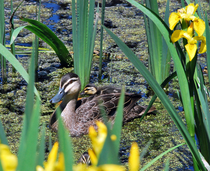 Pacific Black Duck and two of the offspring.