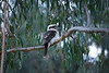 Kookaburra near Dandenong Creek