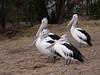 Pelicans, American River - Kangaroo Island, SA