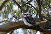 Still on a quest for a really good shot of a Kookaburra.  Unfortunately, this is not 'the one'.