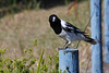 Butcherbird, Cabarita Beach, NSW