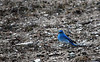 Mountain Bluebird, Yellowstone