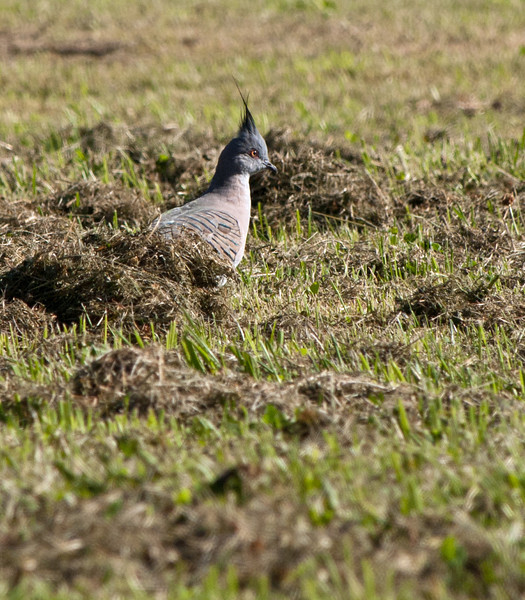 Crested Pigeon, Jell's Park, January 2011