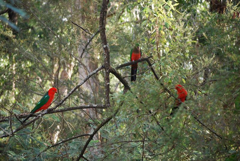 King Parrots at Badger Creek Weir, Yarra Ranges