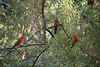 King Parrots at Badger Creek Weir, Yarra Ranges
