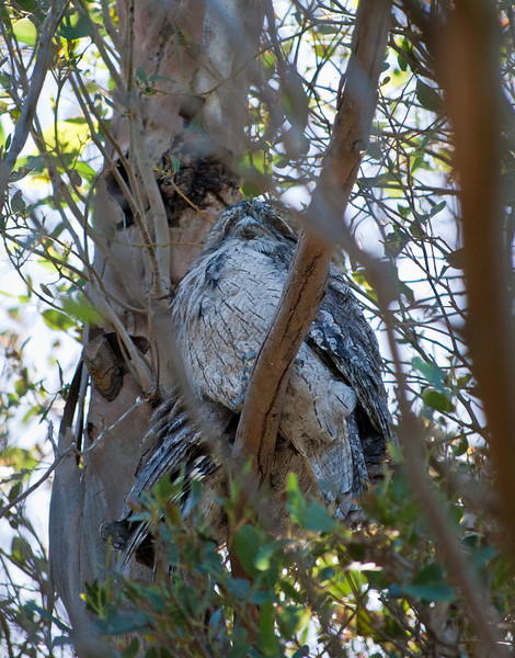 Pair of Tawny Frogmouths.  If only the front one had opened its eyes...