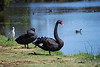 Black Swans and Spoonbill, Lake Pertobe, Warrnambool