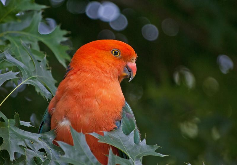 King Parrot (male)<br /> Maroondah Reservoir, January 2011
