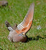 Just having a little stretch...<br /> (and I thnk I finally understand why they are called 'bronzewings')