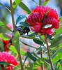 New Holland Honeyeater playing peek-a-boo behind a waratah.<br /> 'Australian Garden', Royal Botanic Garden, Cranbourne.