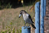Butcherbird (juvenile or female), Cabarita Beach, NSW