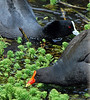 Sharing the pond<br /> Dusky Moorhen and Eurasian Coot