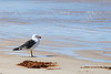 Pacific Gull watching the waves, Waratah Bay, Vic