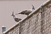 And more Crested Pigeons<br /> Blind Creek Trail near Knox City Shopping Centre<br /> February, 2011