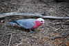 What a galah!<br /> Galah, Healesville Sanctuary, Vic