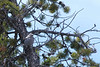 Gray jay, Yellowstone National Park