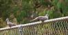 Crested Pigeons, Blind Creek Trail<br /> February 2011