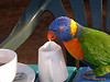 Apparently lorikeets enjoy a sip of milk now and then...<br /> A late afternoon stop for tea and sandwiches on Brunei Island came with unexpected company.