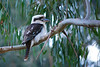 Laughing Kookaburra, Dandenong Creek