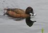 Hardhead (White-eyed Duck)