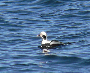 Long-tailed Duck at Fort Phoenix (2/13)
