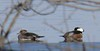 Napping Hooded Merganser keeping an eye on his mate--Tamarack Park (2/15)