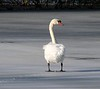 Mute Swan at Mill Road
