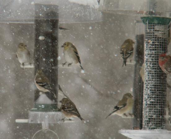 """Finches in """"blizzard"""" Feb. 12."""