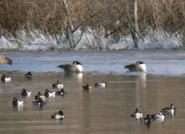 Ring-necked Ducks and Canada Geese from Tamarack Park -Feb. 15