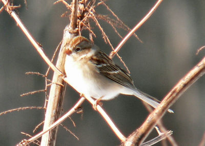 One of a flock of 6 Field Sparrows (and one Song Sparrow) at Mill Road (2/15)
