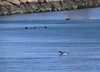 Loon at Sakonnet Point