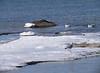 Gulls at West Island