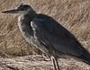 Great Blue Heron, West Island