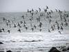 Flock of Dunlin and Sanderlings