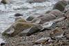 Sanderling and Dunlin