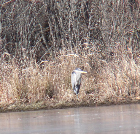 Great Blue Heron at cow pond in soccer fields.  Feb 16
