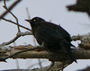 Rusty Blackbird at Long Road