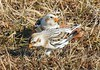 Fort Phoenix Snow Buntings