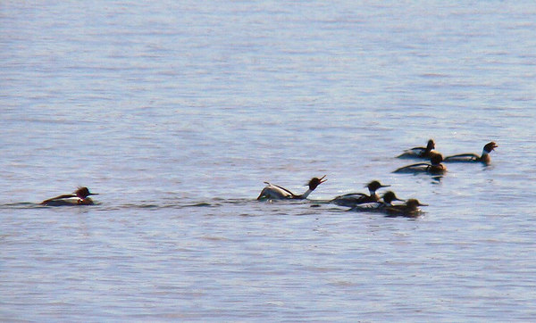 Squawky mergansers