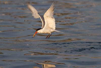 Feeding Tern