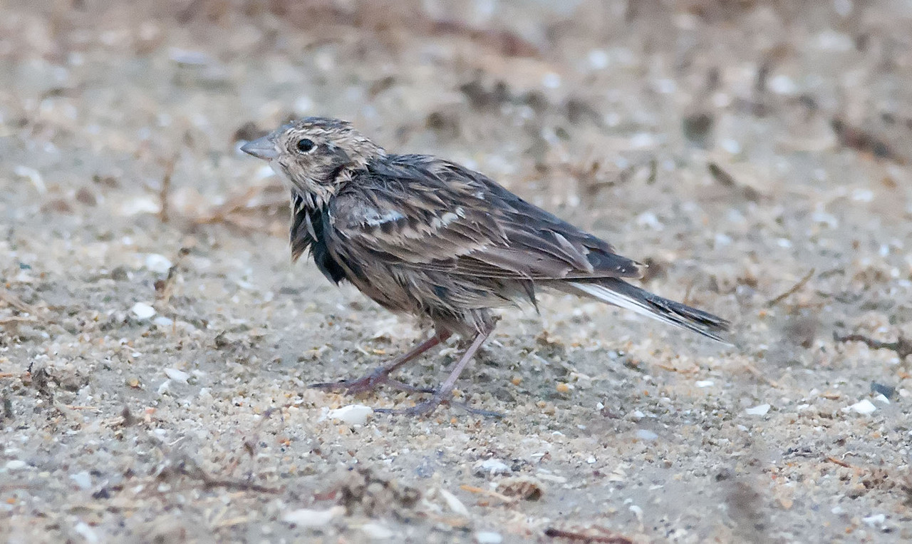 Chestnut-collared Longspur