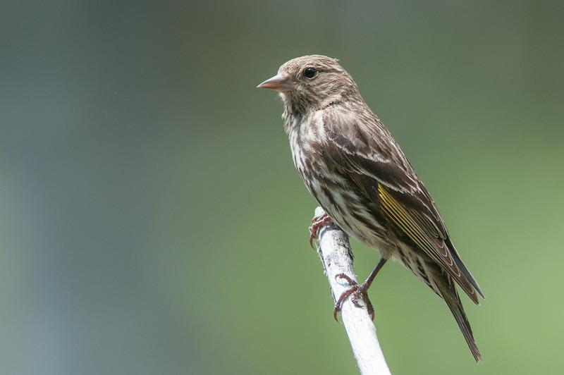 Pine Siskin, Finch