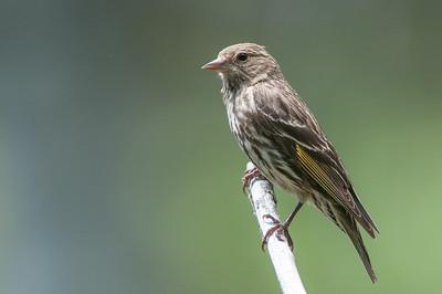 Finch, Pine Siskin