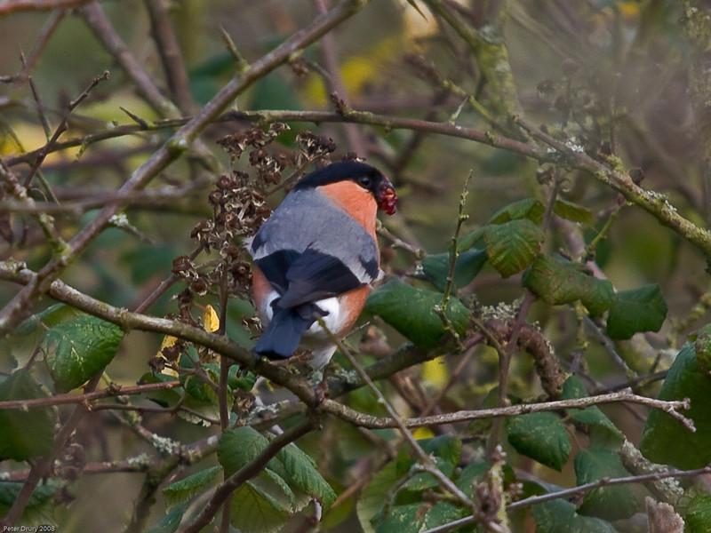 Bullfinch (Pyrrhula pyrrhula). Copyright 2009 Peter Drury