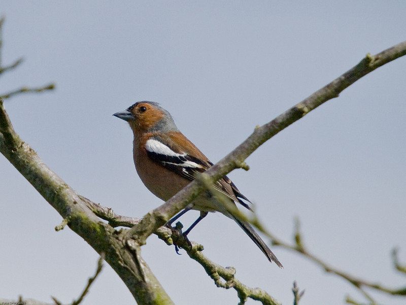 Chaffinch (Fringilla coelebs) - Male. Copyright 2009 Peter Drury<br /> Widley, Hampshire